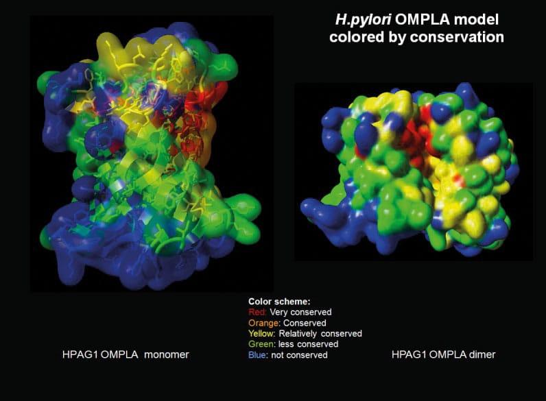 Modell av H. pylori OMPLA