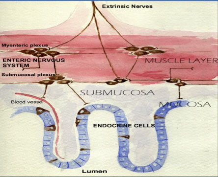 Figur 1. Skjematisk oversikt over mage-tarm-kanalens nevroendokrine system.