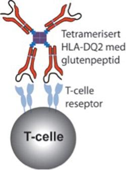 Figur 1: Tetramer bundet til glutenspesifikk T-celle: Vår tetramer består av rekombinante glutenpeptid-HLA-DQ2 molekyler som er biotinylert og tetramersisert på en streptavidinkjerne. Streptameren er også koblet til et fluorokrom for visualisering (ikke vist). Gluten-reaktive T-celler kan binde glutenpeptid-HLA-DQ2 molekylene med sine spesiefikke T-celle reseptorer. Tilsettes disse tetramerene i en blodprøve vil man kunne påvise glutenreaktive T-celler i et flowcytometer.