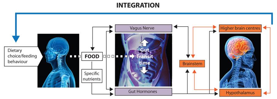 Illustrasjon av mat-tarm-hjerne-aksen (J.G. Mercer og T. Amin, Full4Health). Gjengitt med tillatelse.