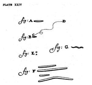 Figur 1. Mikroorganismer ble første gang observert og beskrevet av Anton van Leeuwenhoek (1632–1723). Denne tegningen ble publisert i Philosophical Transactions of the Royal Society i 1684. Mikroben som er gjengitt i figur B har tilsynelatende et noe forunderlig «ganglag» (C → D), og det er fristende å spekulere på om den kan være alkoholpåvirket.